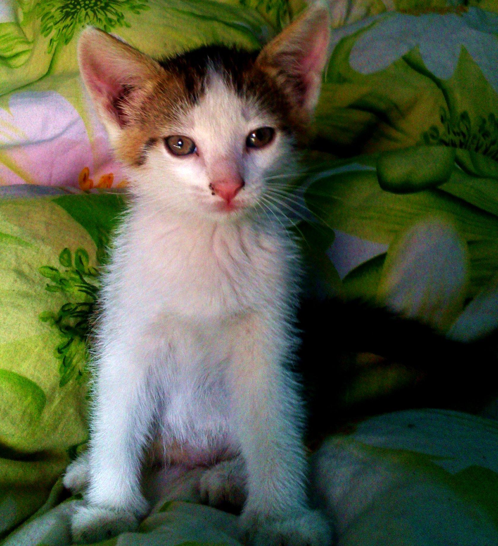 Przesympatyczna półtora miesięczna kotka
