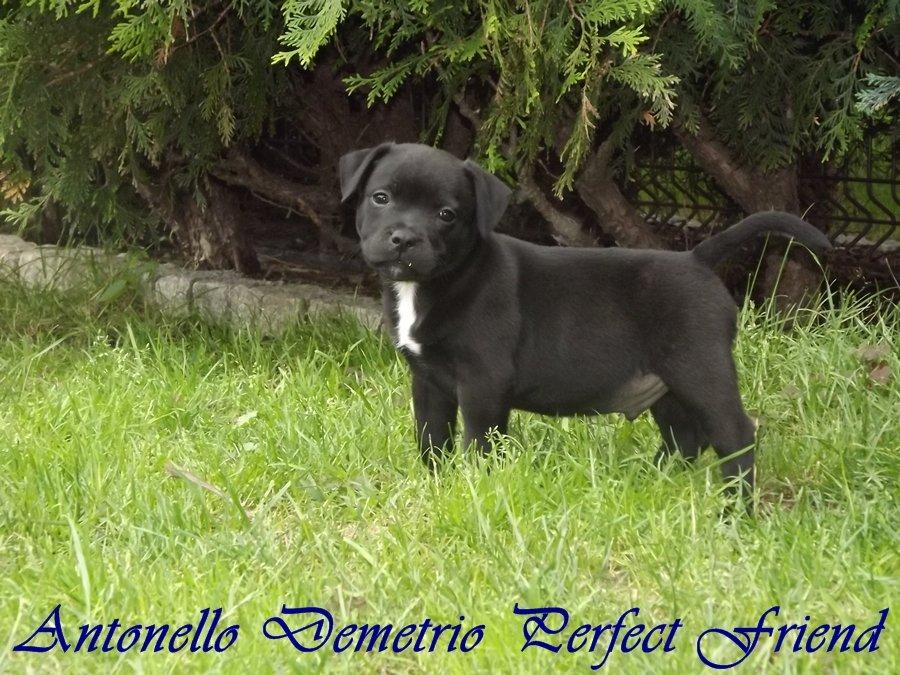 Szczenięta Staffordshire Bull Terrier już do odbioru