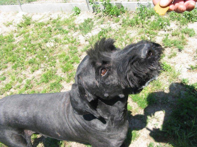 Baks - terier rosyjski do adopcji