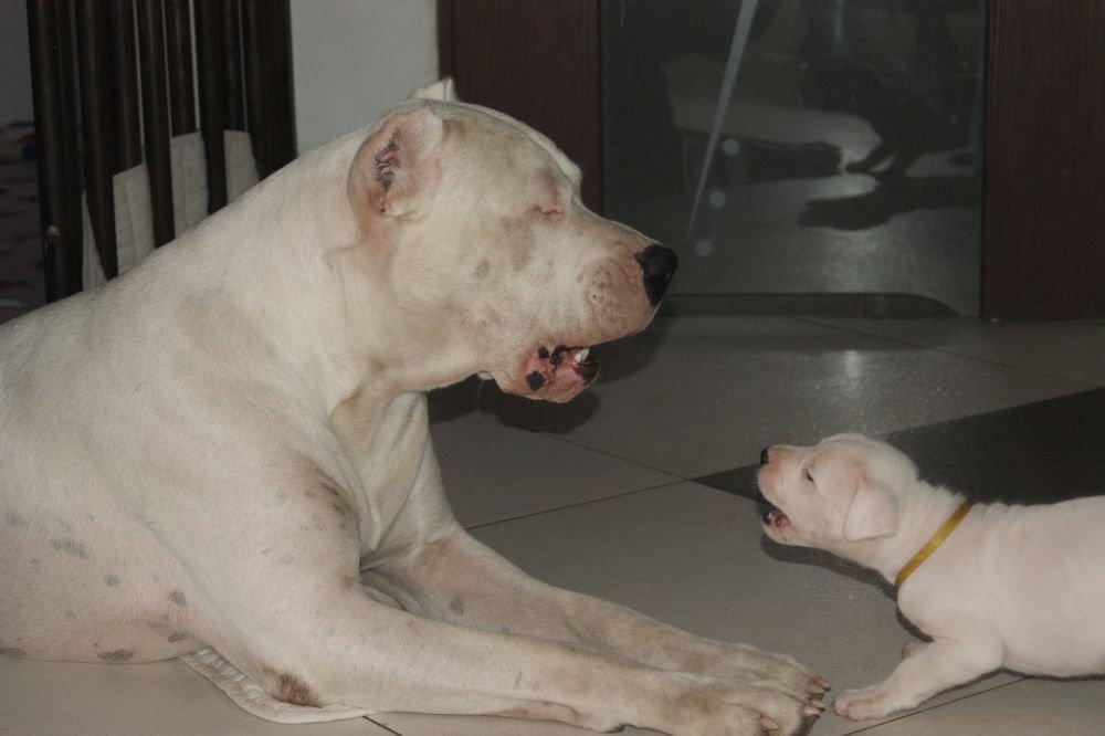 Szczenieta Dog Argentyński