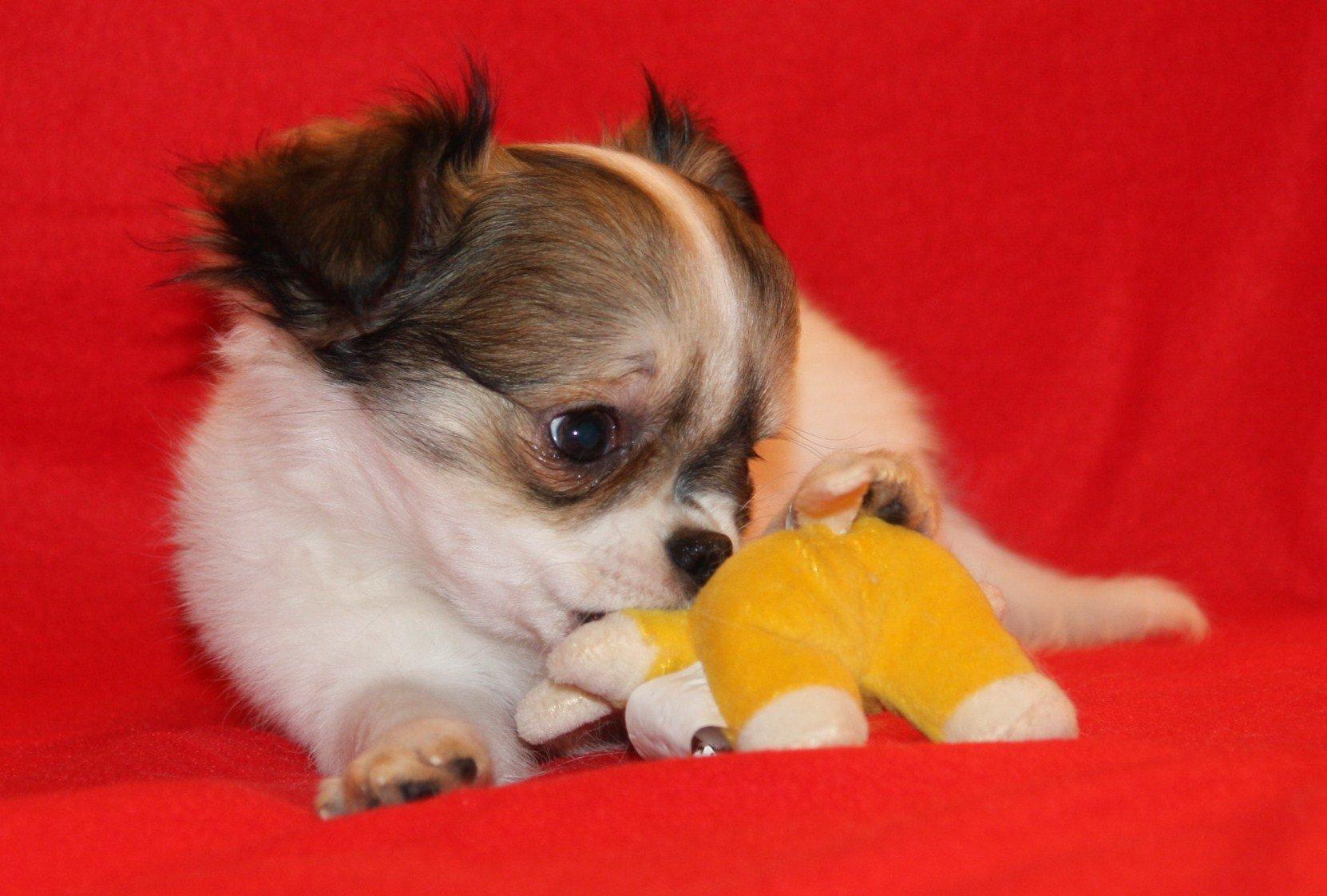 Pieszczoch, szczeniak Chihuahua długowłosy biały z czekol, rodowód FCI