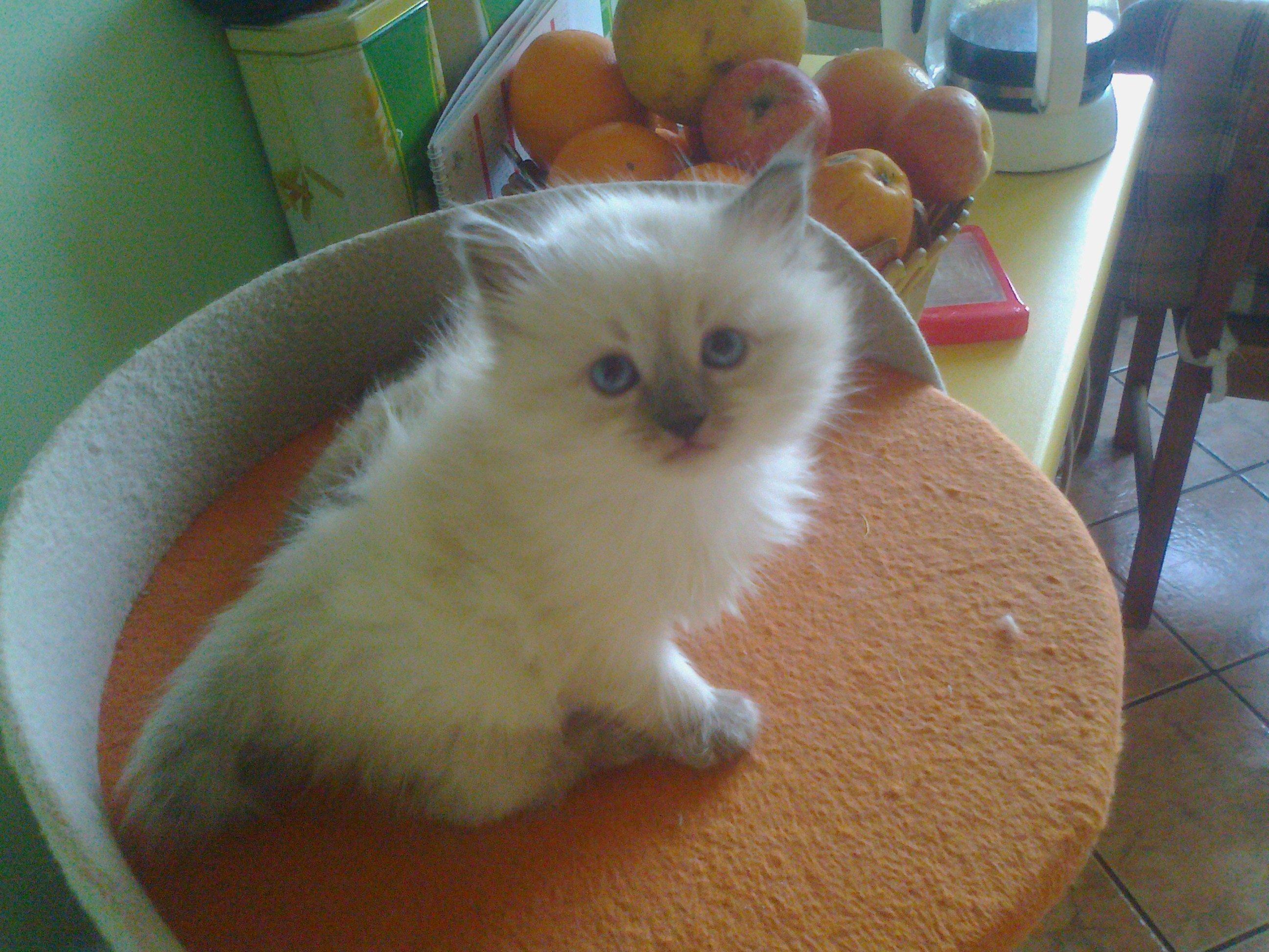 Koty syberyjskie neva masqarade rodowodowe