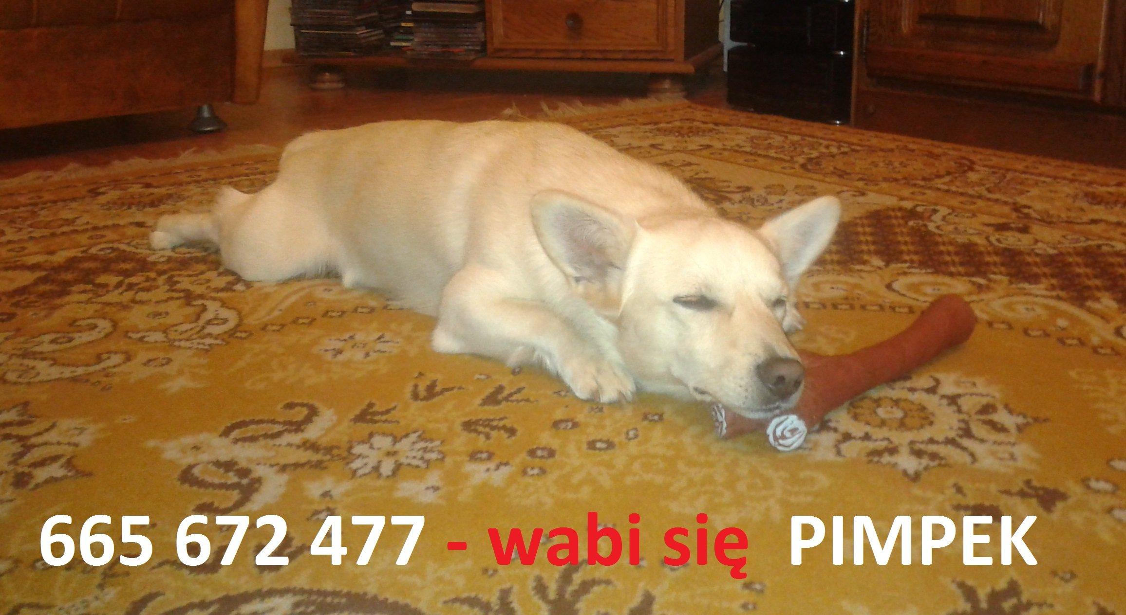 Uciekł pies - PIMPEK - BISZKOPTOWY KUNDEL