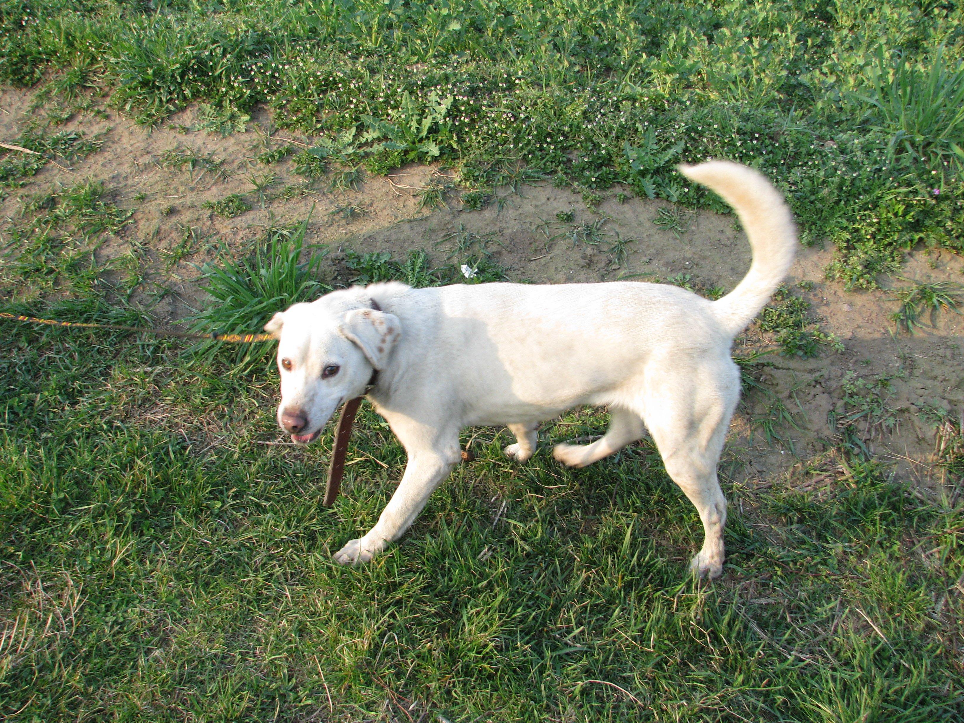 Oddam 1,5 rocznego psa rasy mieszanej (Labrador z Dalmatyńczykiem)