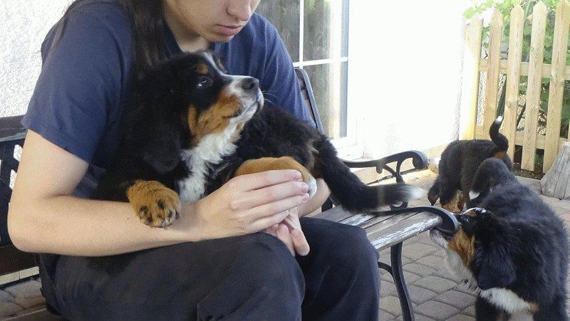 Berneński Pies Pasterski EMY (Emilka) 16 tyg suczka z rodowodem ZKwP do odbioru od zaraz