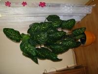 Difenbachia – piękny, dekoracyjny, duży kwiat doniczkowy,  2-pienny, 1,7 m