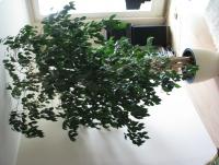 Fikus Benjamin  – piękny, duży, dekoracyjny kwiat doniczkowy   2,3 m