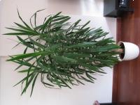 Juka – piękny, duży kwiat doniczkowy,  3-ramienny, 2,1m