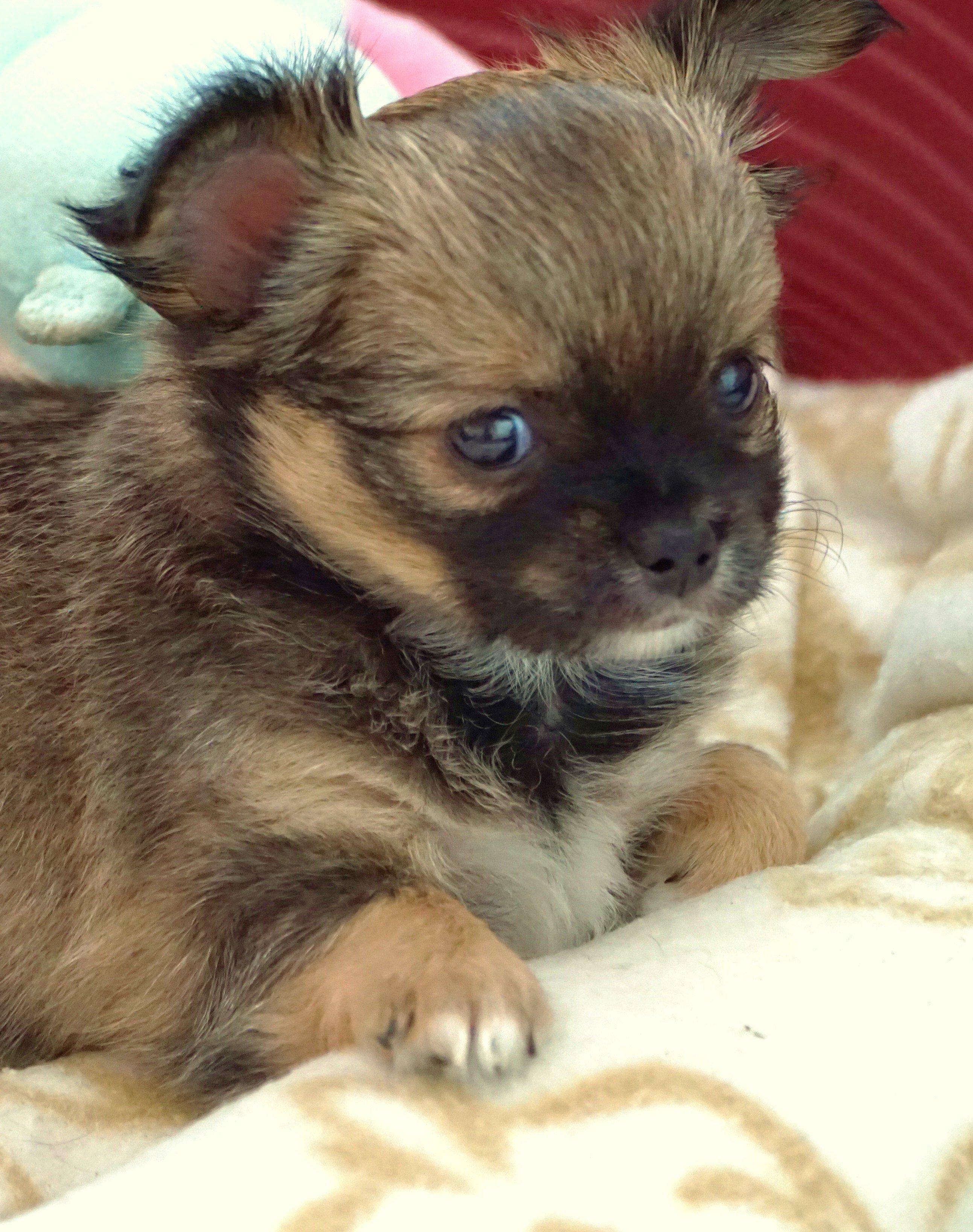 Chihuahua szczeniaczki, rasowe 100%, ZKwP, FCI metryka
