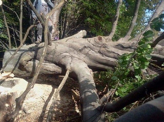 Wycinka, wycinanie drzew, karczowanie sadu, rębak, zrębkowanie